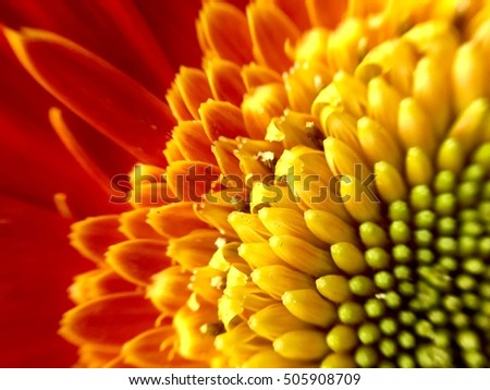 Macro of an orange gerbera daisy