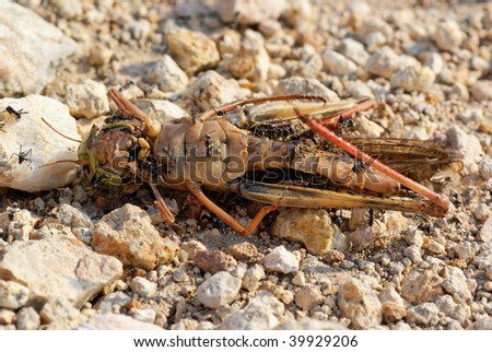 Macro of ants eating dead grasshopper - stock photo