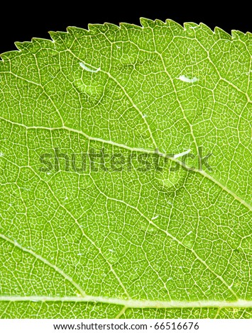 macro of apricot leaf with water drops isolated on black - stock photo