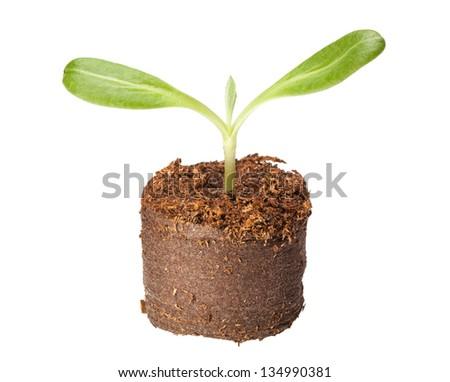 Macro of artichoke (Cynara scolymus) seedling in peat block isolated on white - stock photo