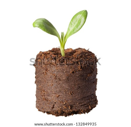 Macro of artichoke (Cynara scolymus) sprout in peat briquette isolated on white - stock photo