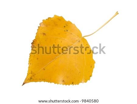 Macro of aspen leaf isolated on white - stock photo