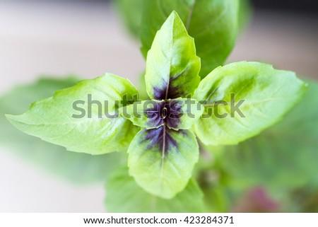 Macro of basil leaves - stock photo