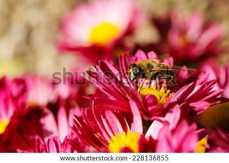 macro of bee on chrysanthemum flower - stock photo