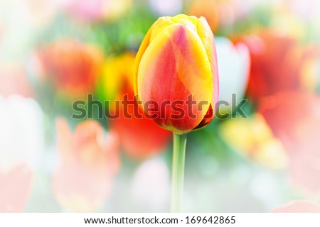Macro of blooming spring tulip  - stock photo
