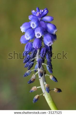 Macro of blue Muscari bulb flower / Grape Hyacinth. - stock photo