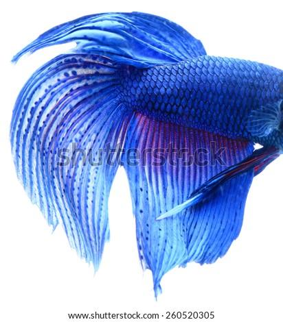 Macro of Blue Siamese fighting fish, Betta Splendens isolated on white background. - stock photo