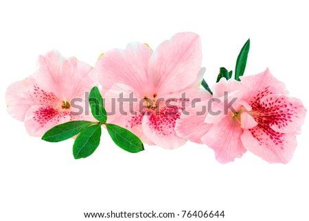 Macro of bright pink azalea blooms isolated on a white background. Clipping path included. - stock photo