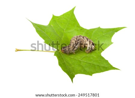 Macro of brown caterpillar on maple leaf isolated on white - stock photo