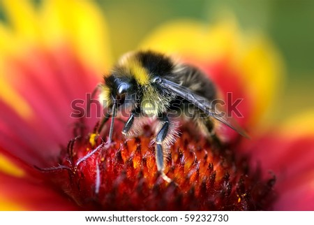 Macro of Bumble Bee on Red and Yellow Flower from side