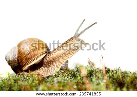 Macro of Burgundy snail (Helix pomatia) in green moss, low angel view isolated on white  - stock photo