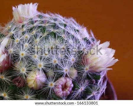 macro of  cactus flower - stock photo