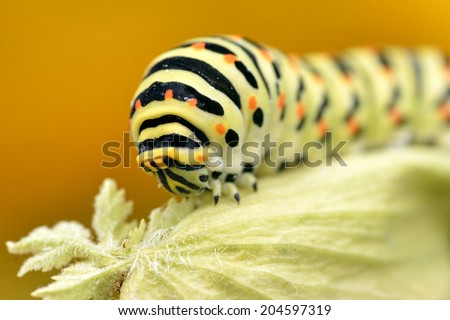 Macro of caterpillar of swallowtail (Papilio machaon) on leaf of umbellifer, viewed of front, on orange background - stock photo
