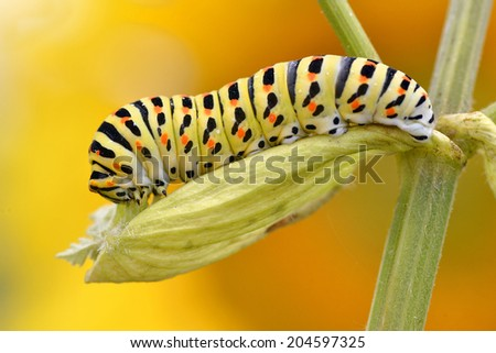 Macro of caterpillar of swallowtail (Papilio machaon) on leaf of umbellifer, viewed of profile, on yellow orange background - stock photo