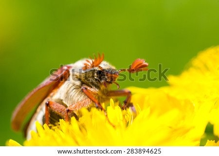 macro of chafer - stock photo