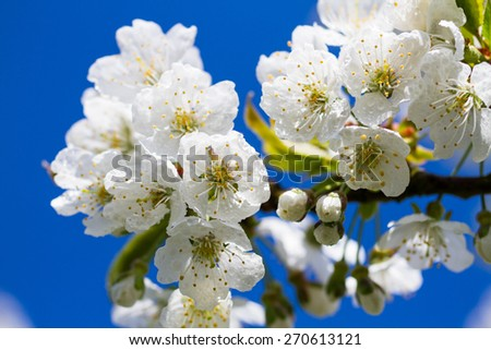 Macro of cherry tree blossom in springtime - stock photo