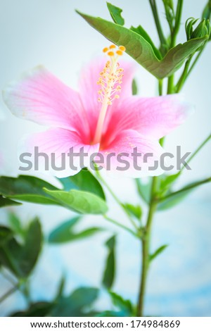 Macro of China Rose flower, hibiscus flowers - stock photo
