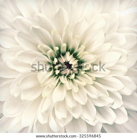 Macro of Chrysanthemum Flower Center. Flower is in a shabby sheek vintage and retro style.