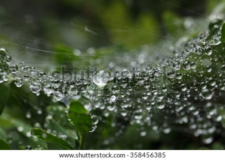 Macro of cobweb covered by water drops after the rain on buxus bush