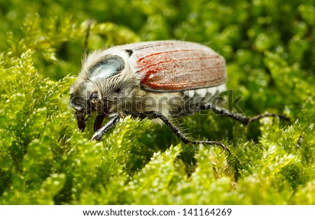Macro of cockchafer bug (Melolontha melolontha) over green moss background  - stock photo