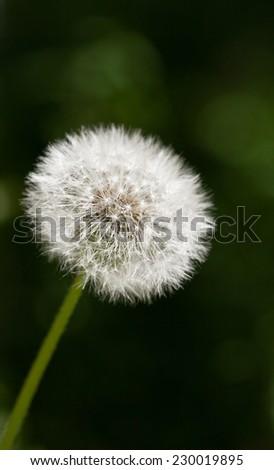 Macro of dandelion clock with seeds over dark background  - stock photo