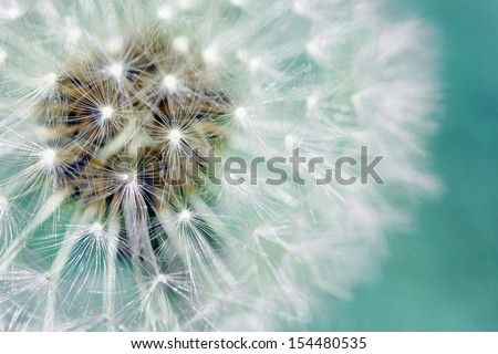 Macro of dandelion fluffy seeds over blue green background - stock photo