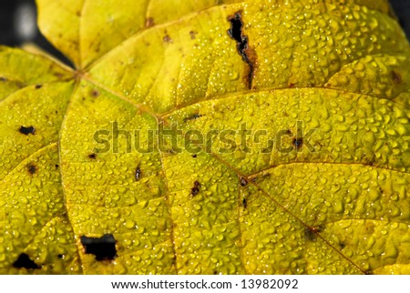 Macro of dewy autumn leaves of bright fall colors