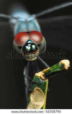 Macro of Dragonfly - stock photo