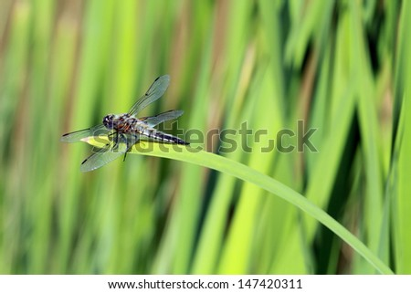 macro of dragonfly resting on water plant rush