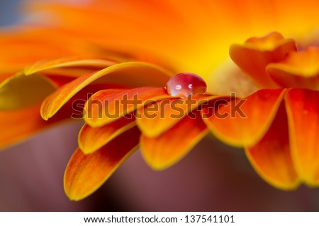 Macro of drops on orange flower detail blue cold - stock photo