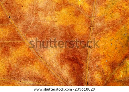 macro of dry sycamore leaf in autumn  - stock photo