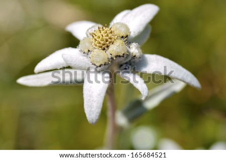 Macro of edelweiss flower (Leontopodium alpinum) in the French Alps at La Plagne, Savoie department. - stock photo