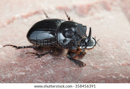 Macro of European rhinoceros beetle (Oryctes nasicornis) climbing on rock
