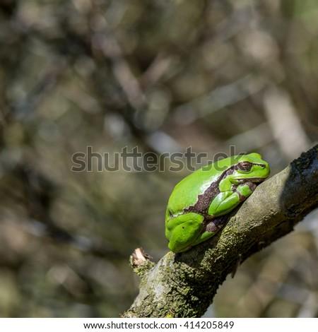 Macro of European tree frog (Hyla arborea) in natural environment - stock photo