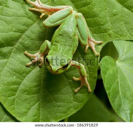 Macro of European tree frog (Hyla arborea) sitting on leaves background  - stock photo