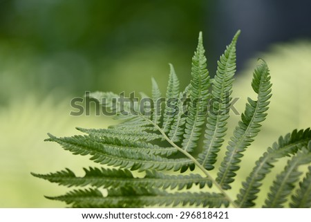 Macro of Fern leaf, green background, blur, defocused