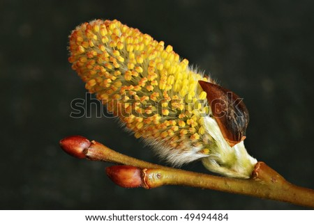 Macro of flowering pussy willow buds.  Shallow dof. - stock photo