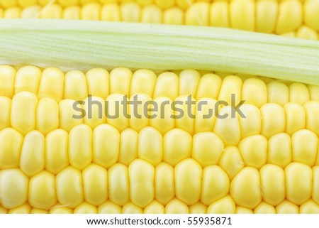 Macro of fresh corn on the cob with water drops visible at 100%. - stock photo