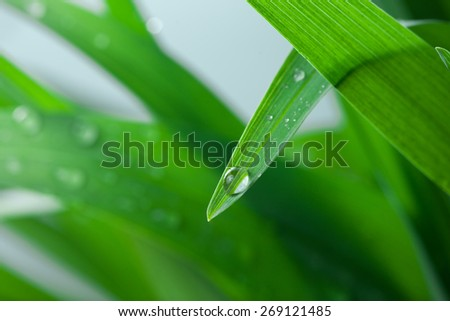 Macro of Fresh Green Grass with Water Drops  - stock photo
