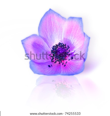 Macro of fresh spring purple wild flower head isolated on white background - stock photo
