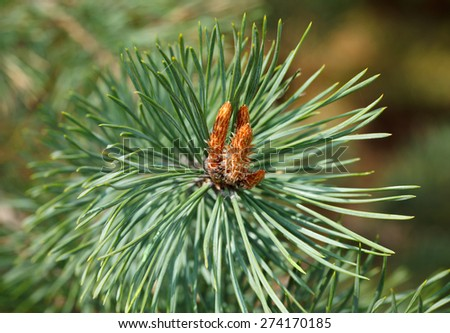 Macro of gemma on fir tree twig at spring