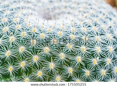 Macro of Golden Barrel Cactus plant in the botanic garden (Echinocactus grusonii Cactaceae)