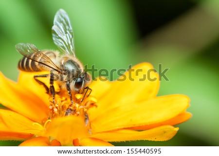 Macro of honey bee eating nectar on yellow flower - stock photo