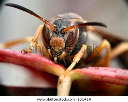 Macro of hornet ready to attack - stock photo