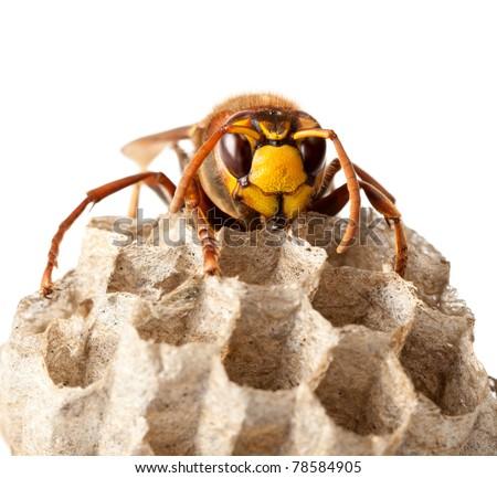 Macro of hornet (Vespa crabro) sitting on vespiary isolated on white - stock photo
