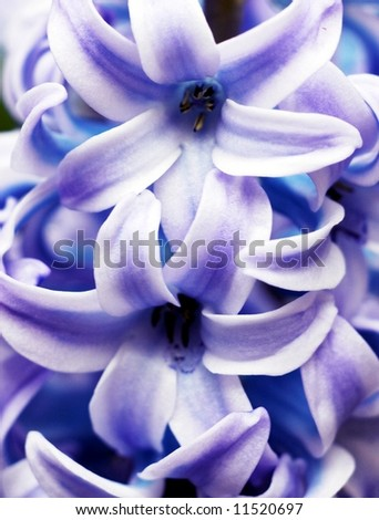 macro of Hyacinth Flower - stock photo