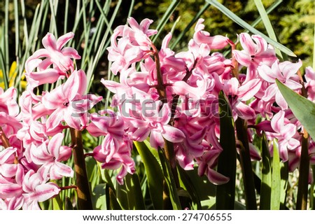 Macro of hyacinths blooming in the spring garden, floral nature background - stock photo