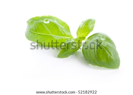 macro of isolated basil leaves with back light - stock photo