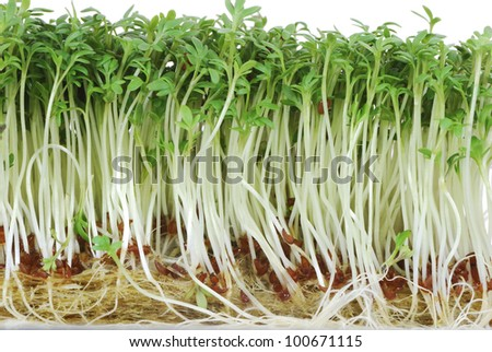 Macro of isolated green watercress sprouts