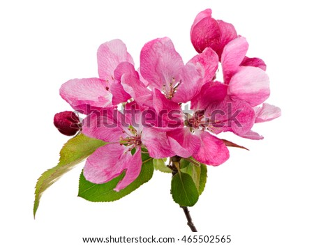 Macro of isolated pink blossoms of an apple tree